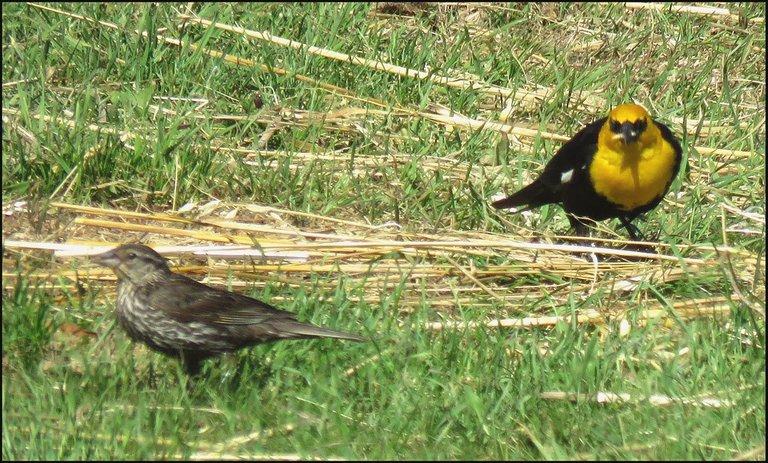 pair yellow headed blackbird.JPG
