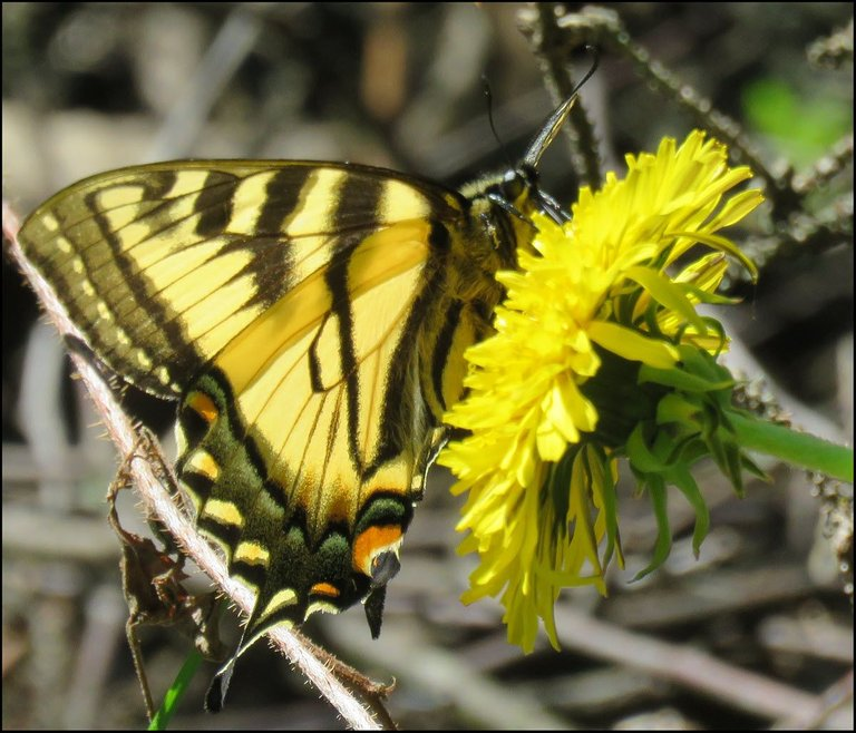 close up swallowtail butterfly on dandelion.JPG
