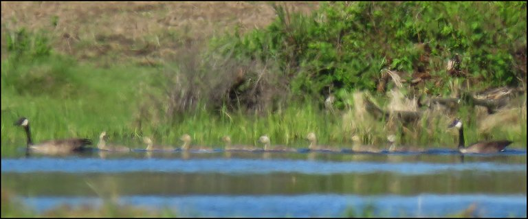 Pair of Canada Geese swimming with 8 goslings.JPG