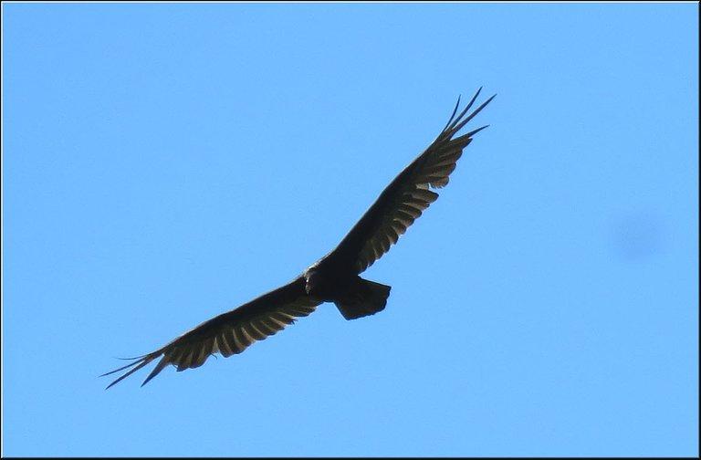 close up vulture in flight wings spread wide.JPG