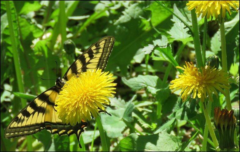 undersideswallowtail butterfly on dandelion.JPG