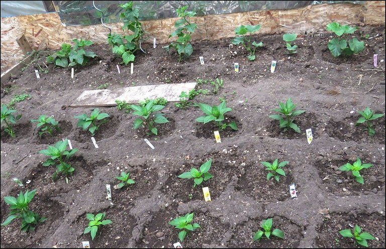 peppers cucs in covered greenhouse.JPG