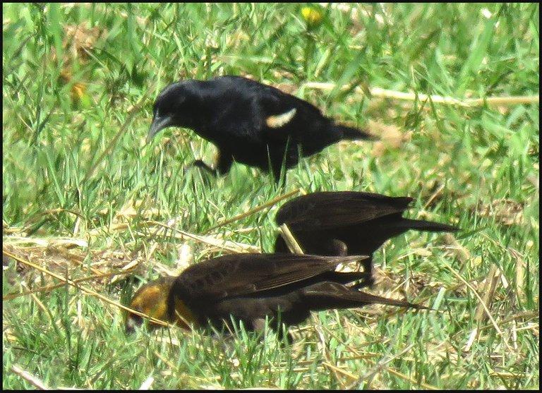 3 blackbirds red winged black bird  walking.JPG