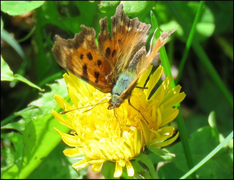 close up brownish orange butterfly showing furry body.JPG