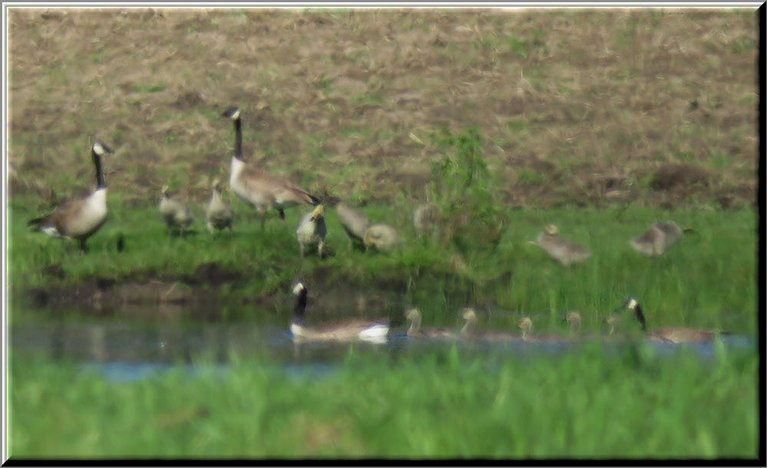 2 families Canada Geese 1 standing on shore looking on others swimming with goslings.JPG