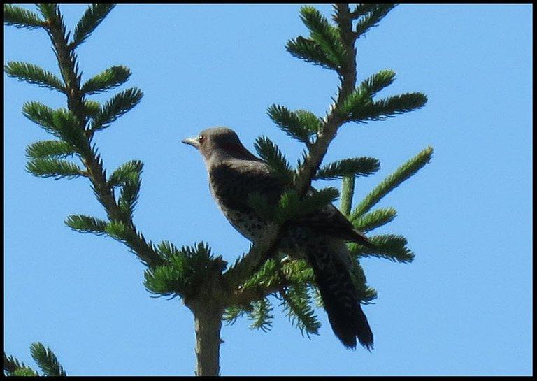 close up flicker sitting on spruce branch looking sharp.JPG