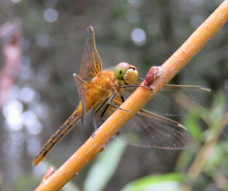 close up golden dragonfly on branch of golden willow.JPG