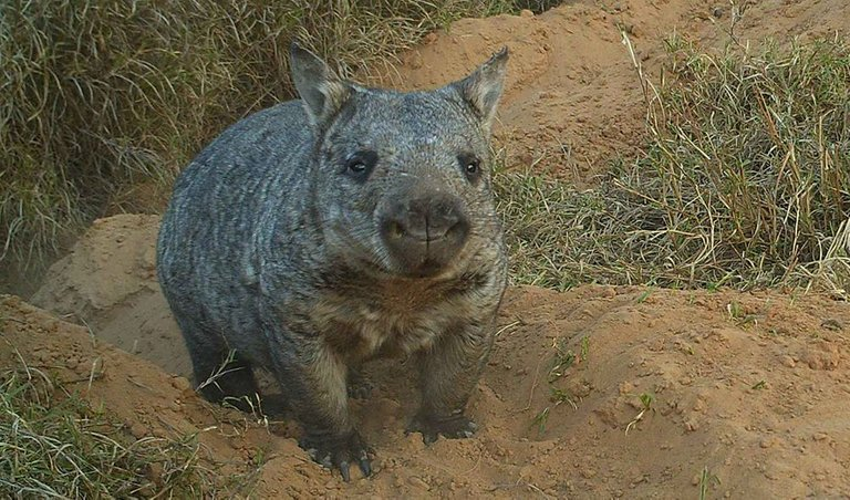 Northern-hairy-nosed-wombat.jpg