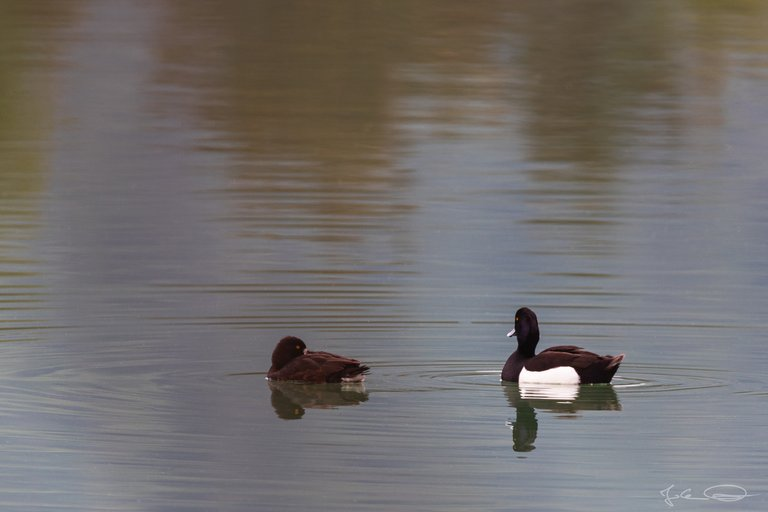 Hive AlphabetHunt Tufted Duck