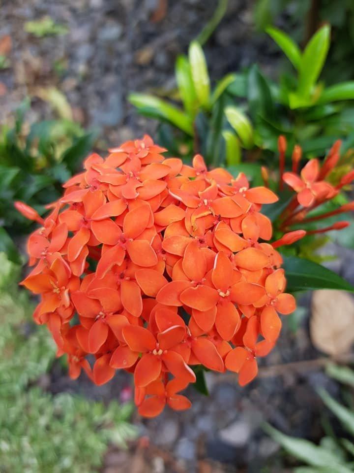 Flower Orange Santan by Daisy Cust.jpg