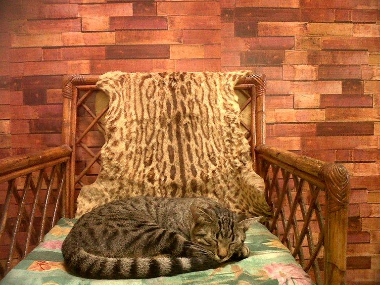 gato gris durmiendo.jpg