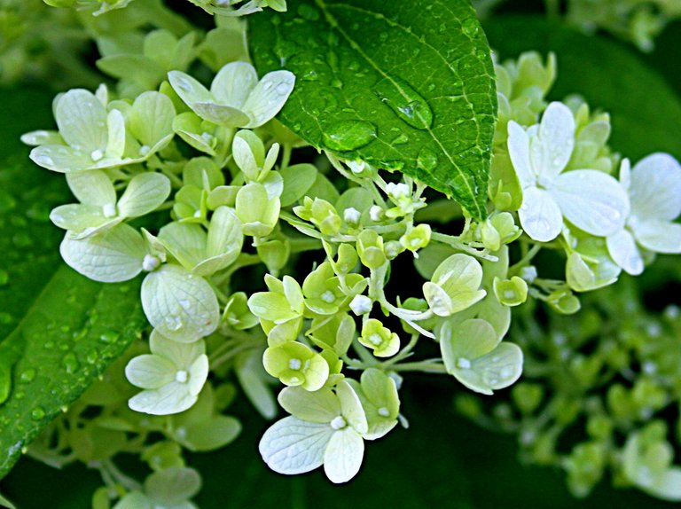 white hydrangea 2.jpg