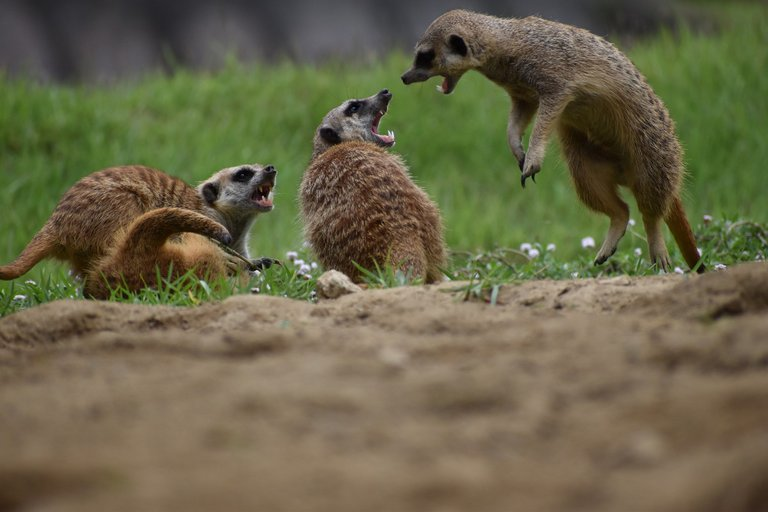 meerkat5255030_1920.jpg