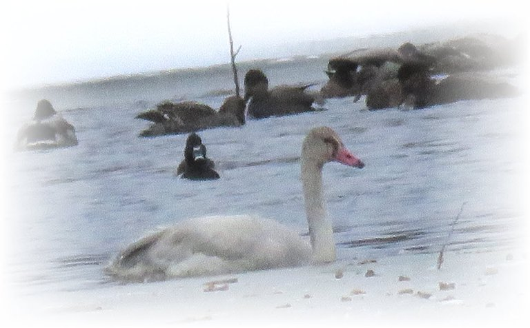 close up juvenile swan  swimming in icy water by other ducks.JPG