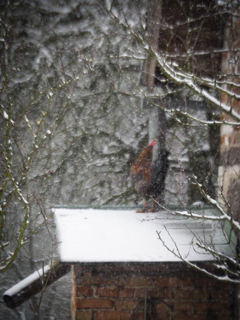 півень у снігопаді 1.jpg