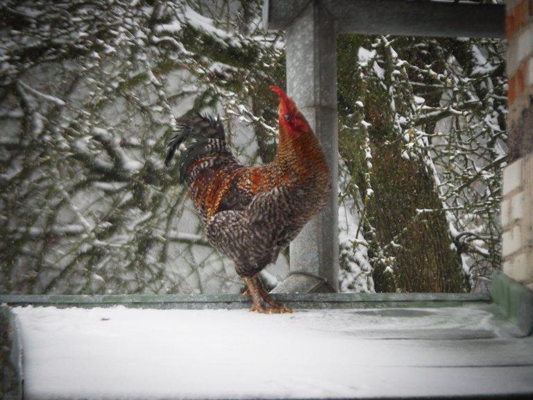 півень у снігопаді 4.jpg