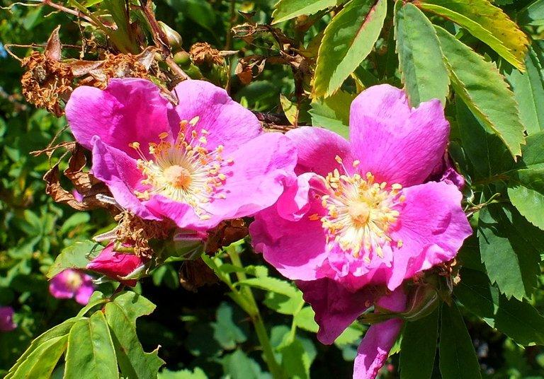 0903-Rose.jpg