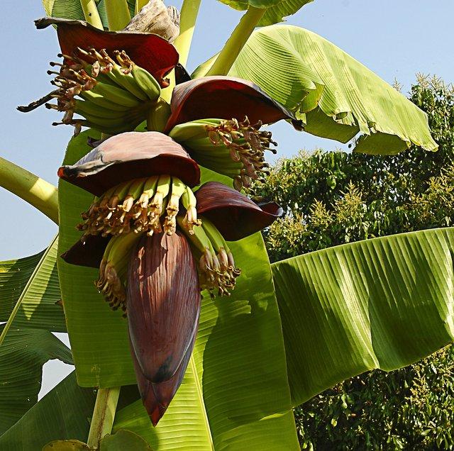 bananaflower174661_1920.jpg
