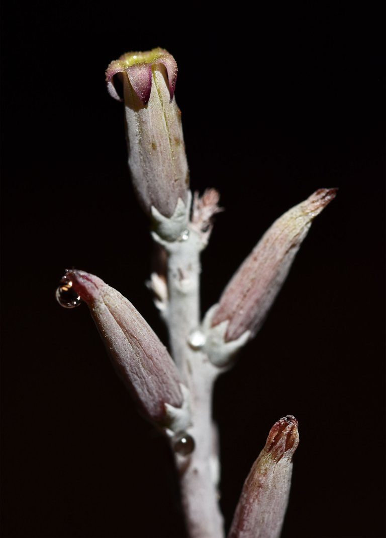 Adromischus festivus flower 3.jpg