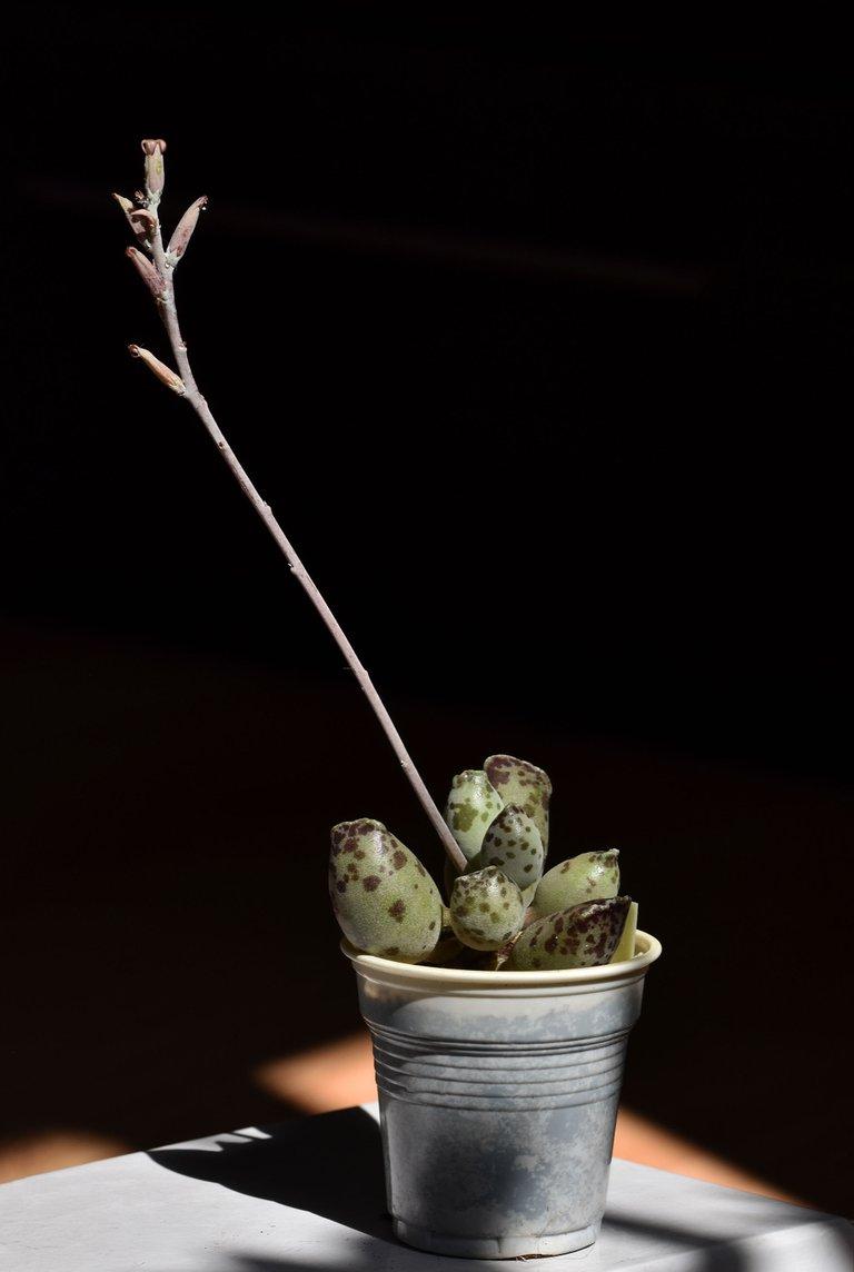 Adromischus festivus flower 4.jpg