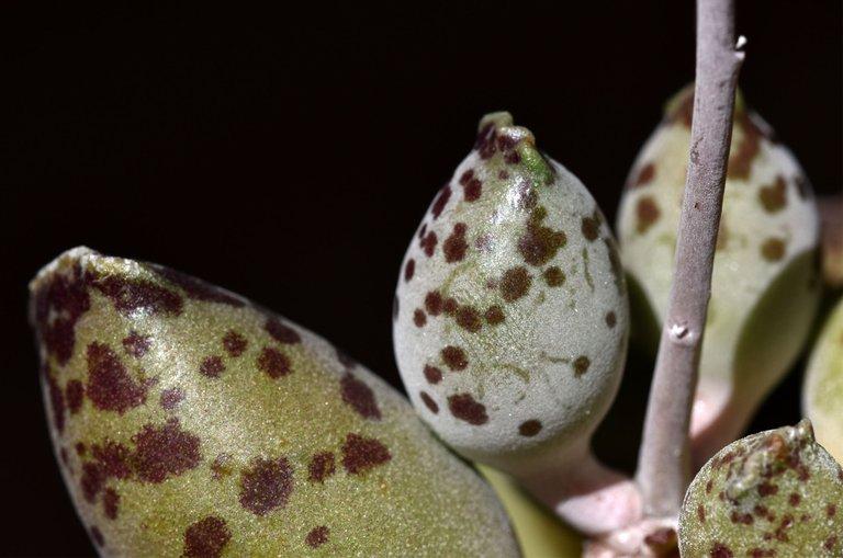 Adromischus festivus flower 7.jpg
