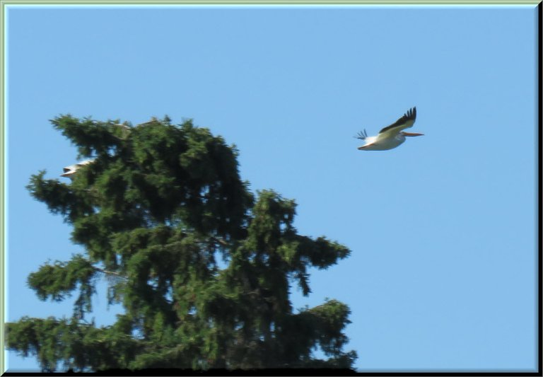 close up pelican in flight.JPG