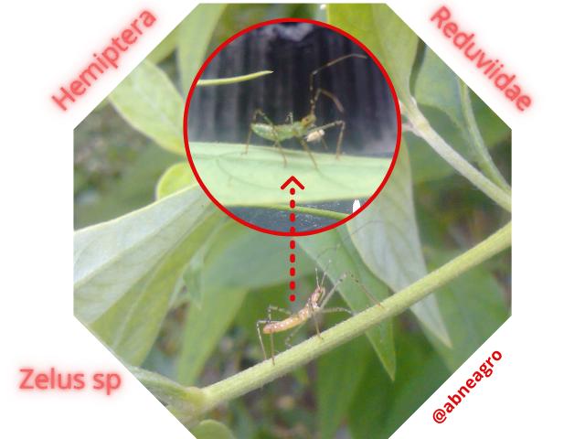 Hemiptera 99.png