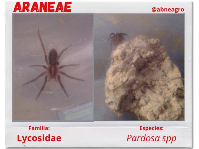 Araña 6.png