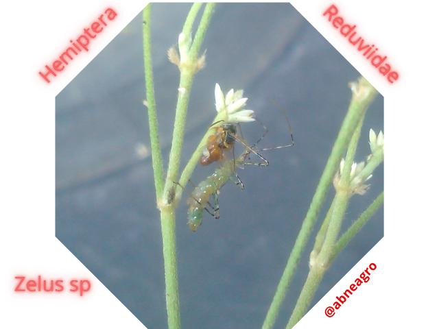 Hemiptera 88.png