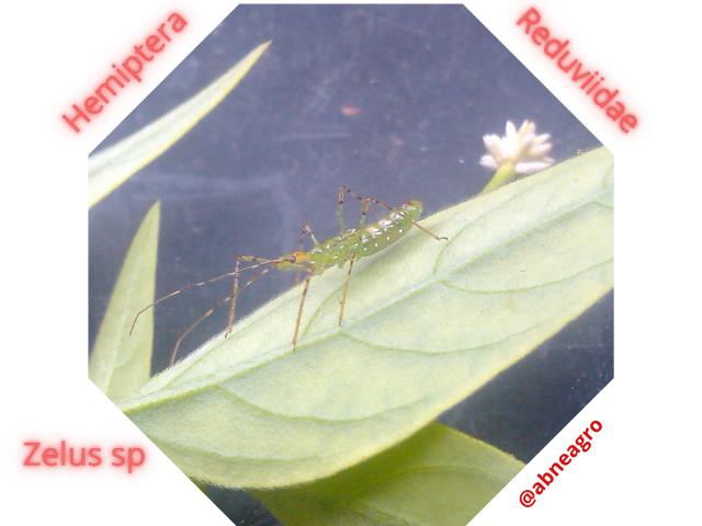 Hemiptera 66.png