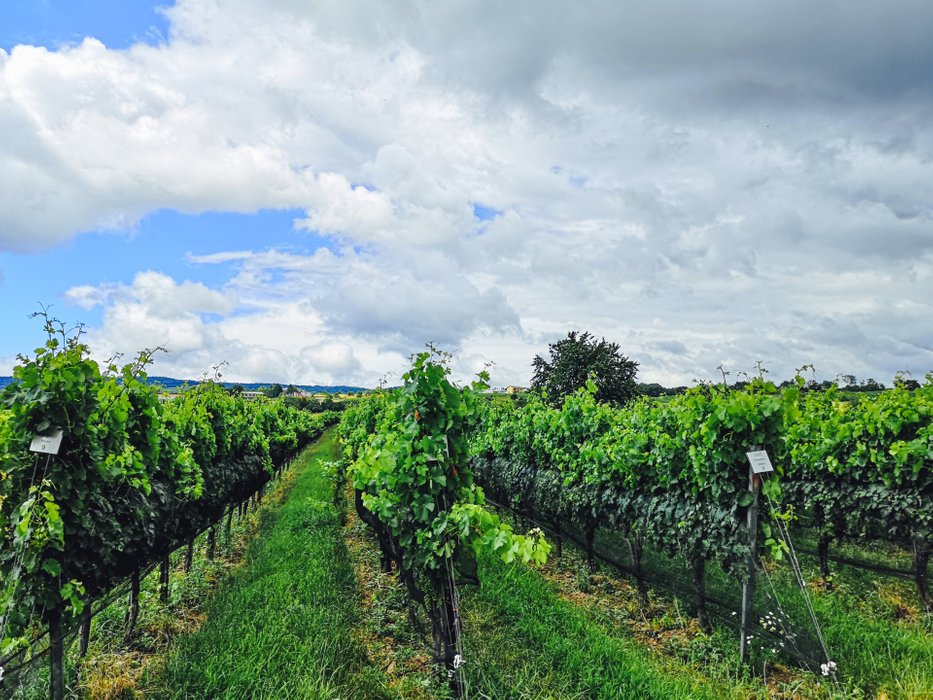 Zweigelt and Blaufränkisch are not the only variety of grapes cultivated in Burgenland. Photo by Alis Monte [CC BY-SA 4.0], via Connecting the Dots