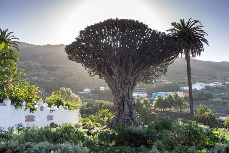 The Dragon Trees of Tenerife