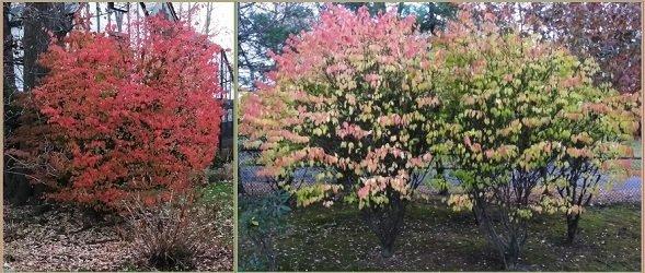 bushes in fall bordered2.jpg