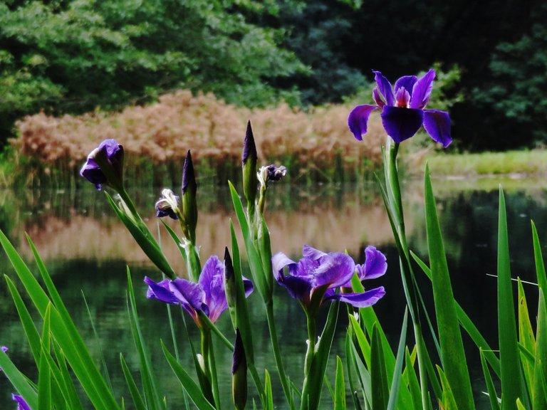 4914-Siberian iris.jpg