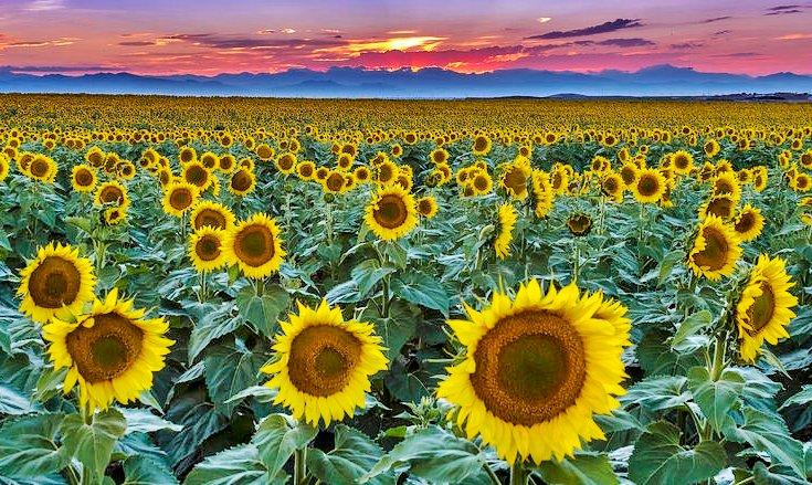 Sunflower II (2).jpg