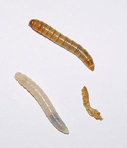 256pxTenebrio_molitor_larvae 1.jpg