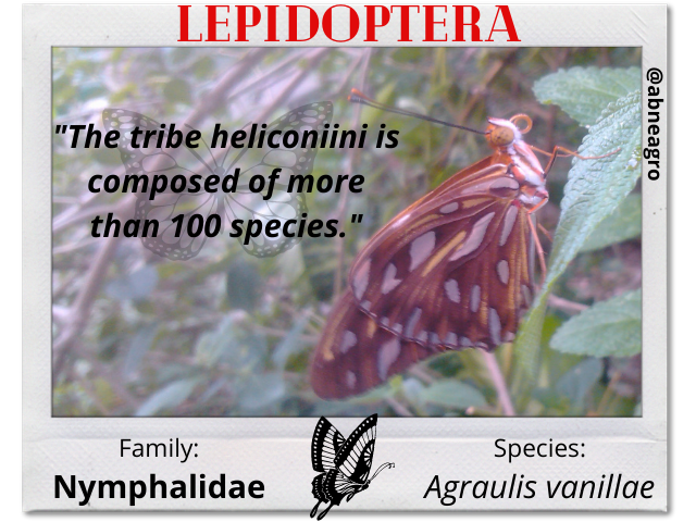 Lepidoptera 2 english.png