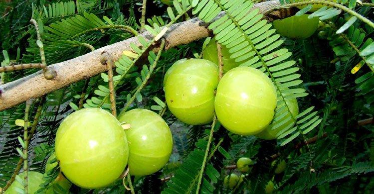 amla-fruits20160120082157.jpg