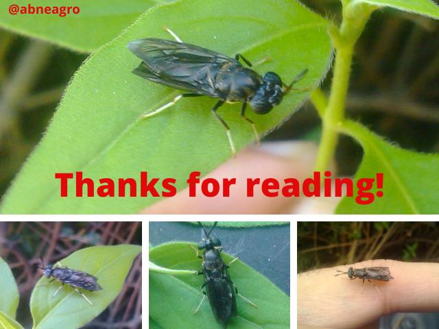 Diptera final english.png