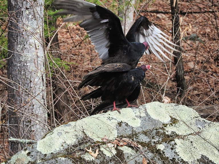 Turkey Vultures in love