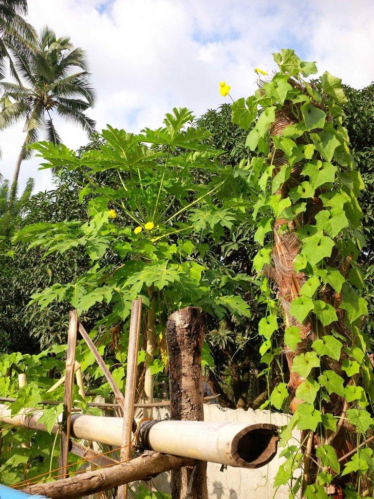 gardening patola and papaya with uncle jesse.jpg