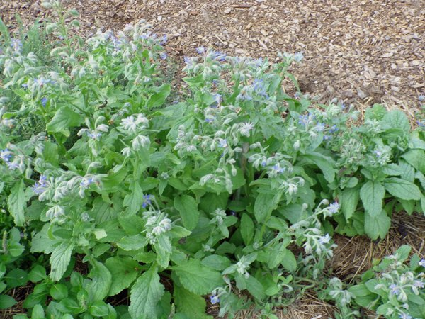 New Herb  Row 2, borage crop July 2020.jpg