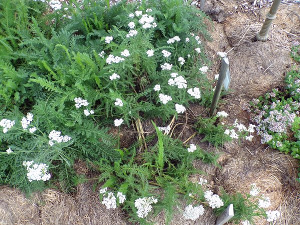 New Herb  Row 7, yarrow crop July 2020.jpg