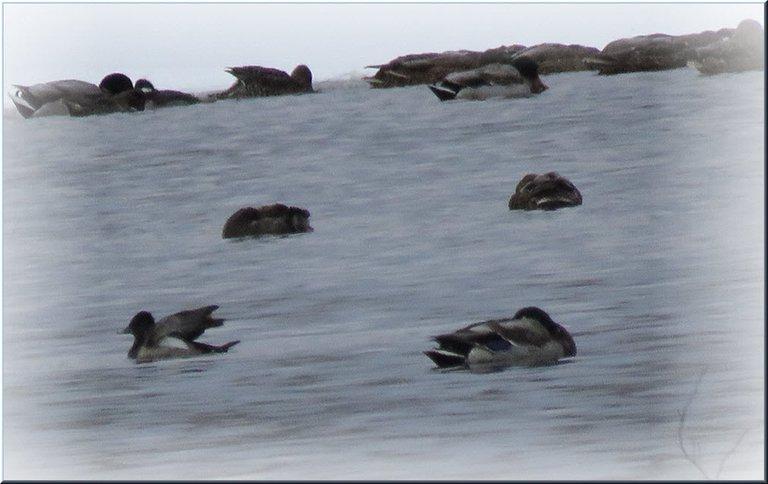 ducks huddles in icy water 1 stretching wings.JPG
