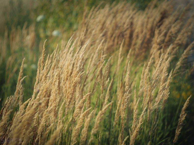 вітряна трава 2.jpg