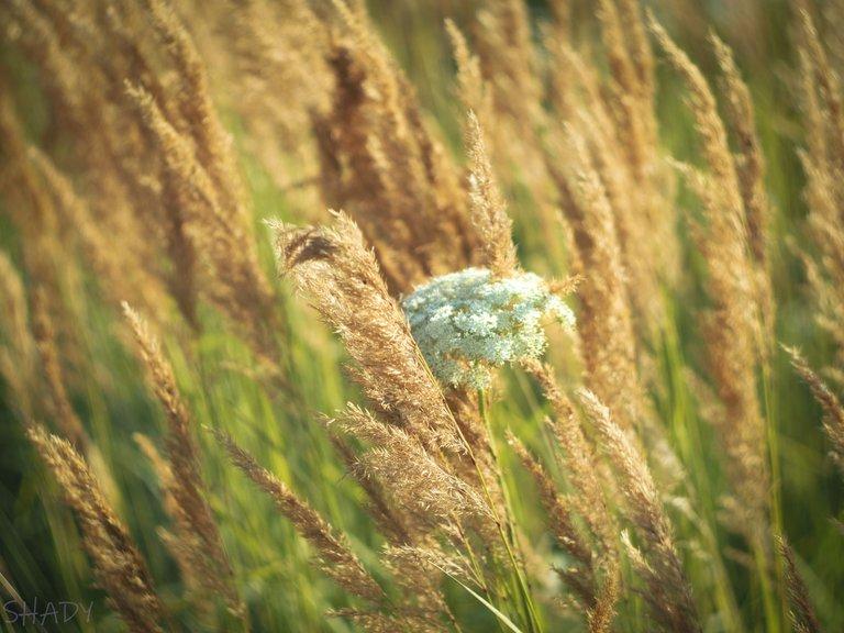 вітряна трава 1.jpg