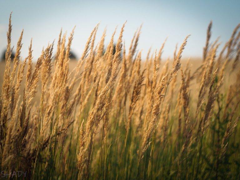 вітряна трава 3.jpg