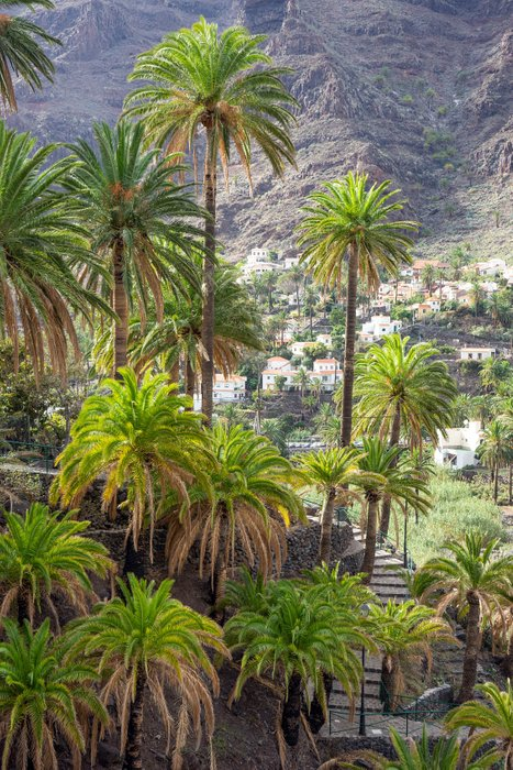 Hight density of palm treess