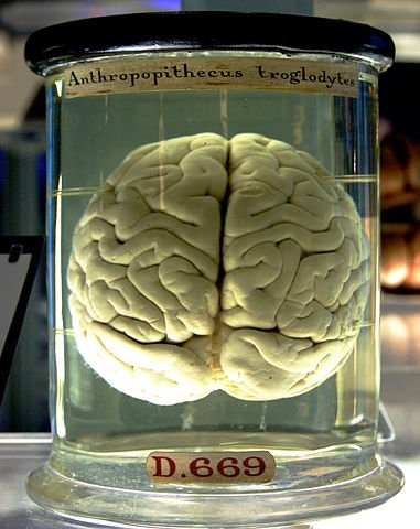 "A chimpanzee brain at the Science Museum London. The label ""Anthropopithecus troglodytes"" includes the deprecated synonym Anthropopithecus of the current chimpanzee genus designation Pan."