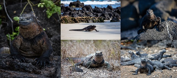 Portraits of different sea Iguanas on Isabela